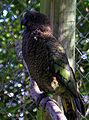 Kea (Nestor notabilis) -aviary -Nga Manu -NZ-6.jpg