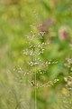Kentucky Bluegrass (Poa pratensis) - Guelph, Ontario.jpg