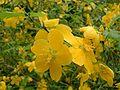 Kerria japonica01.jpg