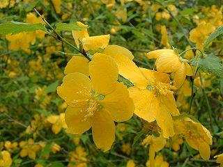 <i>Kerria japonica</i>
