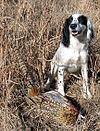 Upland Bird Dog Training Supplies