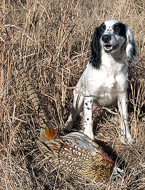 Hunting and shooting in the United Kingdom - An English Springer Spaniel in a typical English shooting scene