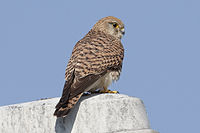 Kestrel at Schiphol-Airport - Holland (4535612144) (2).jpg