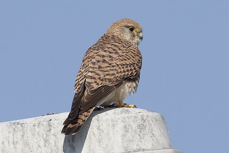 File:Kestrel at Schiphol-Airport - Holland (4535612144) (2).jpg