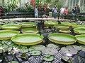 Kew Gardens giant water lily.JPG