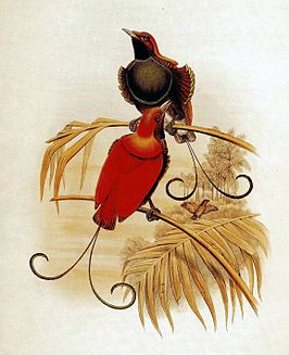 King of Holland's Bird of Paradise.jpg