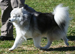 Kiskia-longhaired-akk-jan2008.jpg