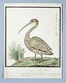 Kleine pelikaan (Pelecanus rufescens).jpeg