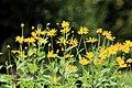 Kluse - Helianthus tuberosus - Topinambur 12 ies.jpg