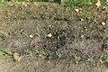 Kluse - Tragopogon porrifolius - Haferwurzel 01 ies.jpg