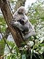 Koala (31961796861).jpg