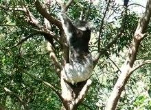 File: Koala grooming.ogv