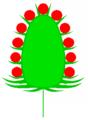 Koepfchen (inflorescence).PNG