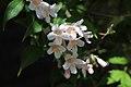 Kolkwitzia amabilis (Paradisbuske) 004.jpg