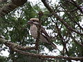 Kookaburra 1 gnangarra.jpg