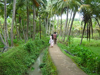 Kovalam - Palm grove in Kovalam