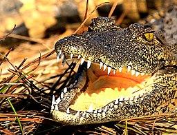 Krokodil Okavangodelta (2019)