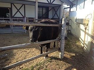 Kuchinoshima cattle Breed of cattle