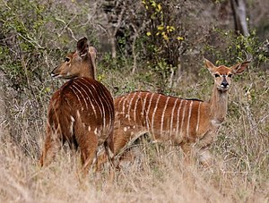 UMkhuze Game Reserve - Nyala ewes in the reserve