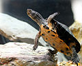 Kwangtung Turtle (Mauremys nigricans).JPG