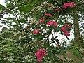 La rosa, protagonista indiscussa del giardino.JPG