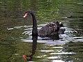 Labedz czarny (Cygnus atratus, Black Swan).JPG