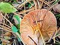 Lactarius deterrimus 96018868.jpg