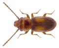 Laemophloeus monilis (Fabricius, 1787) (2).png