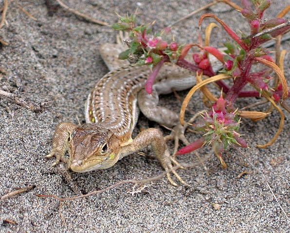 File:Lagartija colirroja 002 - Cabo de Gata (Acanthodactylus ...