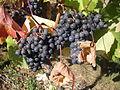 Lagrezette Grapes Cahors.jpg