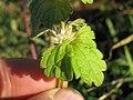 Lamium amplexicaule leaf5 (14835044875).jpg