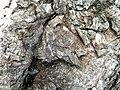 Lanternfly (Fulgoridae) ? (3917650205).jpg