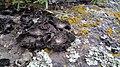 Lasallia pustulata 95401953.jpg