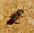 Lasioglossum sp. ( calceatum^). Halictidae, female - Flickr - gailhampshire (1).jpg