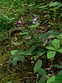 Lathyrus nevadensis 10039.JPG
