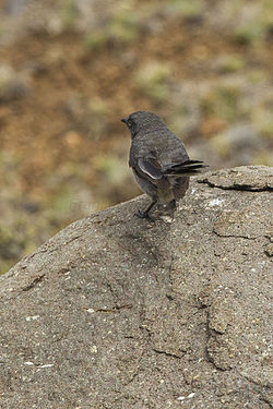 Layard's Warbler - Natal - South Africa S4E7335 (19110026610).jpg