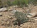 Layne milkvetch, Astragalus layneae (15291322363).jpg