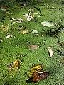Lemna minor + Spirodela polyrhiza sl2.jpg