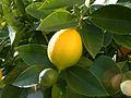 Lemon, DSCF2773.jpg