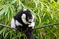Lemur (36499938533).jpg
