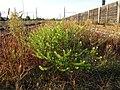 Lepidium virginicum (subsp. virginicum) sl2.jpg