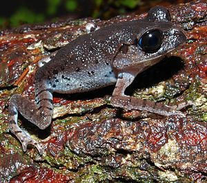 Megophryidae - Java spadefoot toad (Leptobrachium hasseltii)