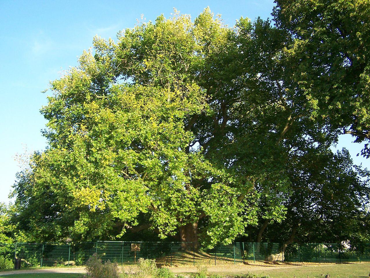 FileLes ClayessousBois Arbre de Diane1JPG  Wikimedia  ~ Natureo Clayes Sous Bois
