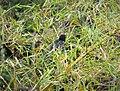 Lesser Black Coucal. Centropus bernsteini (48814736703).jpg