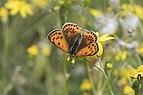 Lesser Fiery Copper - Lycaena thersamon 01.jpg