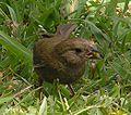 Lesser antillean bird2 1 female.jpg