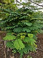 Leucaena leucocephala 19.jpg