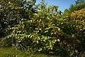 Leycesteria formosa D.jpg