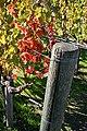 Lightmatter grapevinepost.jpg