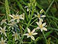 Liliaceae - Ornithogalum narbonense (4).JPG